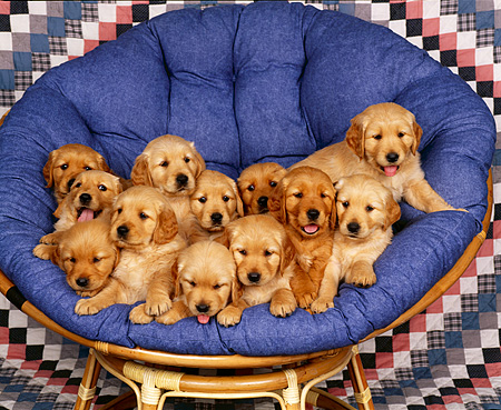 PUP 08 RK0171 14 © Kimball Stock A Group Of Golden Retriever Puppies Sitting In Round Chair