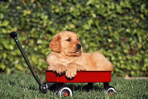 PUP 08 RK0177 05 © Kimball Stock Golden Retriever Puppy Laying In Red Wagon On Grass