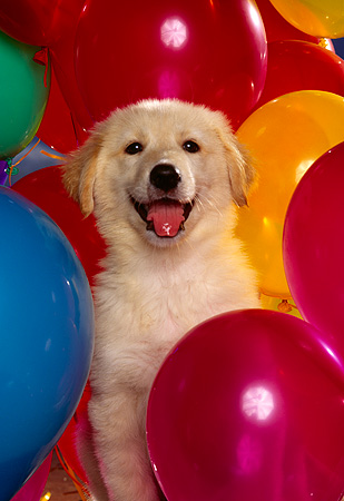 PUP 08 RK0180 04 © Kimball Stock Golden Retriever Puppy Head Shot Surrounded By Colorful Balloons