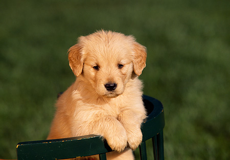 PUP 08 RK0191 02 © Kimball Stock Head Shot Of Golden Retriever Puppy Leaning On Back Of Green Chair On Grass