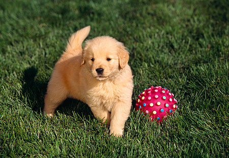 PUP 08 RK0196 03 © Kimball Stock Golden Retriever Puppy Playing With Pink Ball On Grass