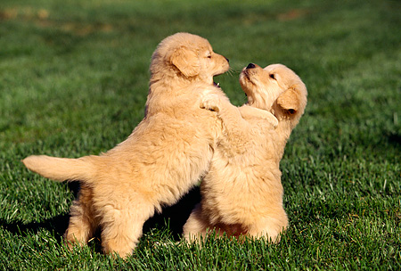 PUP 08 RK0198 03 © Kimball Stock Golden Retriever Puppies Playing On Grass