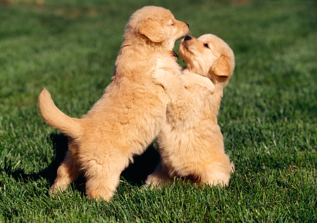 PUP 08 RK0198 07 © Kimball Stock Golden Retriever Puppies Playing On Grass
