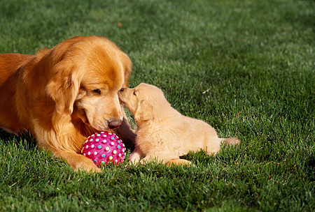 PUP 08 RK0204 05 © Kimball Stock Golden Retriever Mom And Pup Laying On Grass By Pink Ball