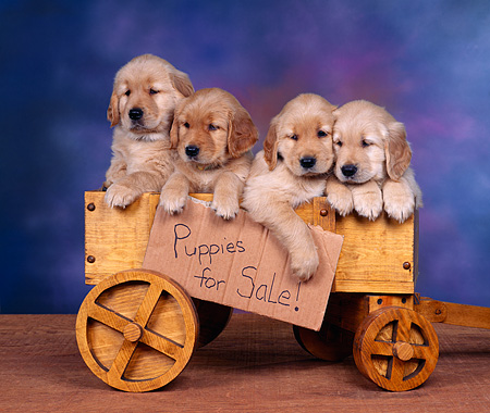 PUP 08 RK0219 07 © Kimball Stock Four Golden Retriever Puppies With Collars Sitting In Wooden Wagon Mottled Background