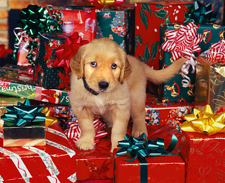 PUP 08 RK0228 01 © Kimball Stock Golden Retriever Puppy With Collar Standing Surrounded By Christmas Presents