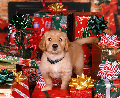 PUP 08 RK0228 06 © Kimball Stock Golden Retriever Puppy With Collar Standing Surrounded By Christmas Presents