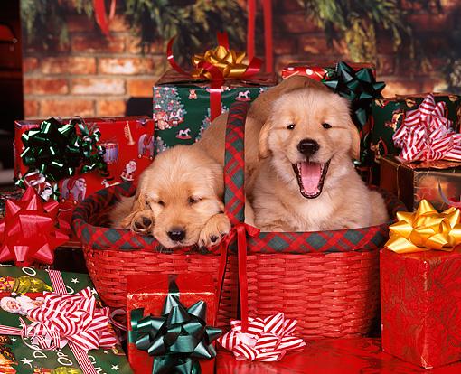 christmas Golden Retriever - Animal Stock Photos - Kimballstock