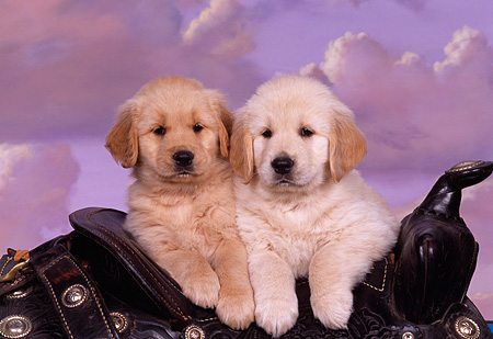 PUP 08 RK0245 01 © Kimball Stock Two Golden Retriever Puppies Leaning Over Saddle Cloudy Purple Sky