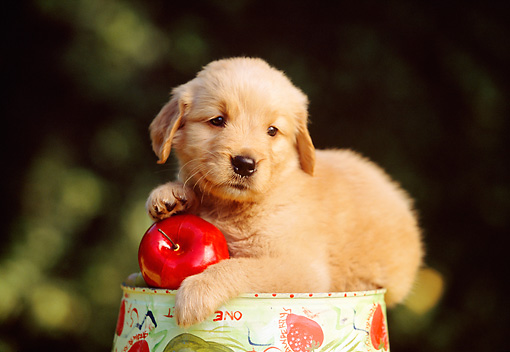 PUP 08 RK0263 07 © Kimball Stock Golden Retriever Puppy Laying On Pail With Apple Bushes Background