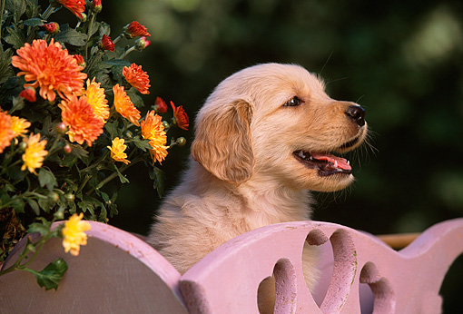 PUP 08 RK0265 20 © Kimball Stock Head Shot Of Golden Retriever Puppy In Cart By Flowers