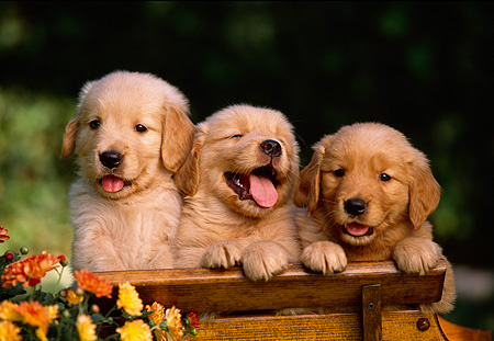 PUP 08 RK0269 36 © Kimball Stock Three Golden Retriever Puppies On Wooden Bench By Flowers
