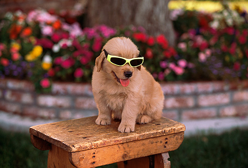 PUP 08 RK0280 02 © Kimball Stock Golden Retriever Puppy Wearing Glasses Sitting On Wooden Table By Flowers