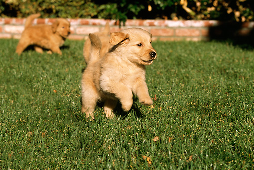 PUP 08 RK0282 01 © Kimball Stock Golden Retriever Puppies Running On Grass