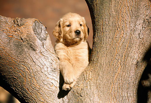 PUP 08 RK0284 07 © Kimball Stock Golden Retriever Puppy Sitting In Tree
