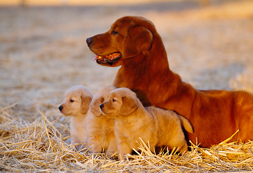PUP 08 RK0288 10 © Kimball Stock Golden Retriever Adult And Puppies Laying Together On Hay