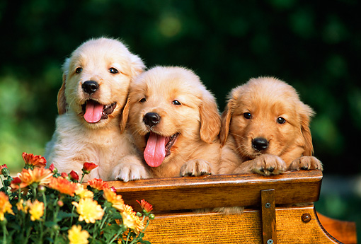 PUP 08 RK0304 02 © Kimball Stock Three Golden Retrievers In Wooden Bench With Flowers