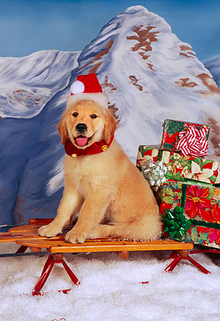 PUP 08 RK0312 01 © Kimball Stock Golden Retriever Puppy Sitting On Sleigh Wearing Santa Hat Mountains Background