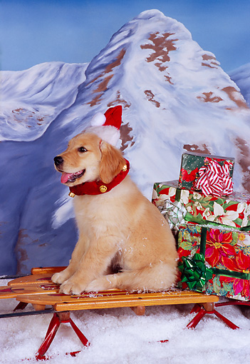 PUP 08 RK0312 03 © Kimball Stock Golden Retriever Puppy Sitting On Sleigh Wearing Santa Hat Mountains Background