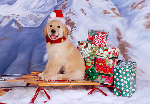 PUP 08 RK0312 06 © Kimball Stock Golden Retriever Puppy Sitting On Sleigh Wearing Santa Hat Mountains Background