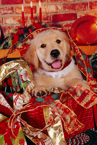 PUP 08 RK0315 03 © Kimball Stock Head Shot Of Golden Retriever Puppy Sitting In Christmas Basket