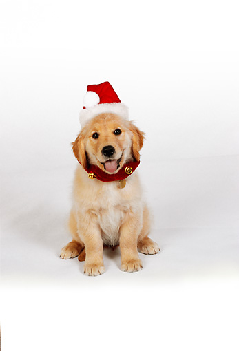 PUP 08 RK0318 03 © Kimball Stock Golden Retriever Puppy Wearing Santa Hat Sitting On White Seamless