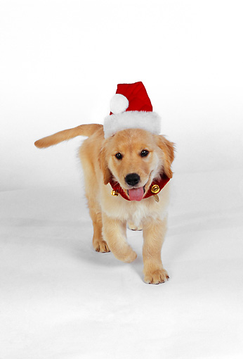 PUP 08 RK0319 03 © Kimball Stock Golden Retriever Puppy Wearing Santa Hat On White Seamless