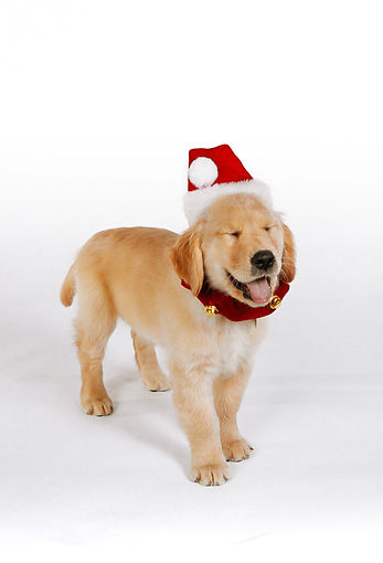 PUP 08 RK0319 07 © Kimball Stock Golden Retriever Puppy Wearing Santa Hat On White Seamless