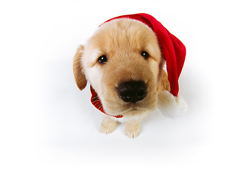 PUP 08 RK0329 02 © Kimball Stock Wide Angle Overhead View Of Golden Retriever Wearing Santa Hat On White Seamless