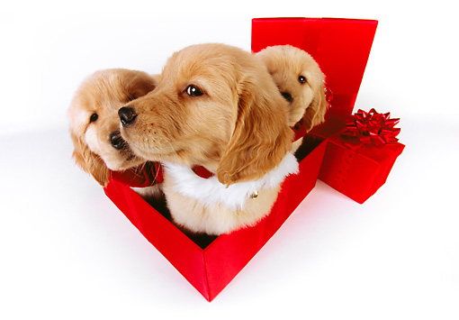 PUP 08 RK0339 02 © Kimball Stock Three Golden Retriever Puppies Sitting In Red Gift Box On White Seamless