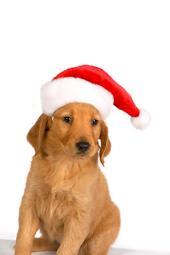 PUP 08 RK0345 01 © Kimball Stock Golden Retriever Puppy Wearing Santa Hat On White Seamless