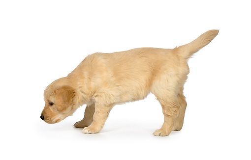 PUP 08 RK0350 01 © Kimball Stock Golden Retriever Puppy Sitting On White Seamless Studio