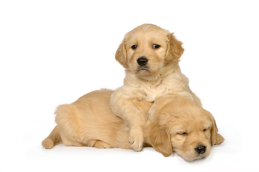 PUP 08 RK0354 01 © Kimball Stock Two Golden Retriever Puppies On White Seamless Studio