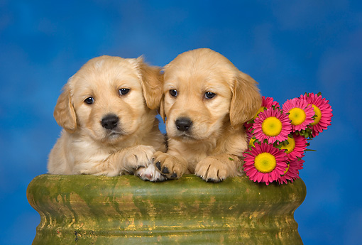 PUP 08 RK0358 01 © Kimball Stock Two Golden Retriever Puppies In Flower Pot By Flowers Studio