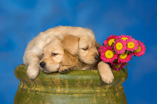 PUP 08 RK0360 01 © Kimball Stock Two Golden Retriever Puppies In Flower Pot By Flowers Studio