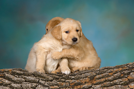 PUP 08 RK0361 01 © Kimball Stock Two Golden Retriever Puppies Laying On Log Studio