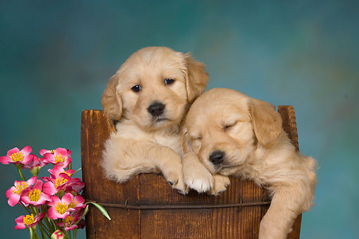 PUP 08 RK0366 01 © Kimball Stock Two Golden Retriever Puppies Sleeping In Bucket By Flowers Studio