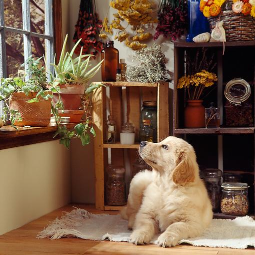 PUP 08 RS0003 01 © Kimball Stock Golden Retriever Puppy Laying By Window In House
