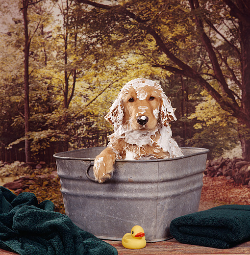PUP 08 RS0013 01 © Kimball Stock Head Shot Of Golden Retriever Puppy In Bath Tin Trees Background