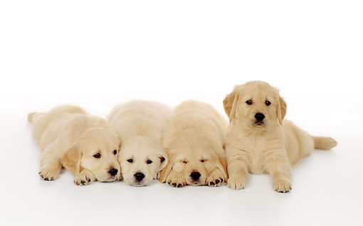 PUP 08 RS0024 01 © Kimball Stock Four Golden Retriever Puppies Laying On White Seamless