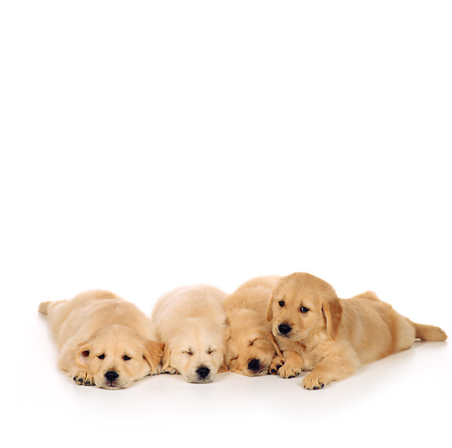 PUP 08 RS0024 04 © Kimball Stock Four Golden Retriever Puppies Laying On White Seamless
