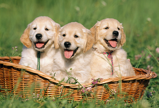 PUP 08 SS0001 01 © Kimball Stock Golden Retriever Puppies Sitting In Wicker Basket On Grass