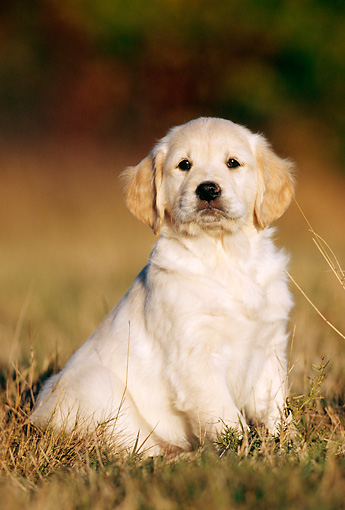 PUP 08 SS0004 01 © Kimball Stock Golden Retriever Puppy Sitting On Grass