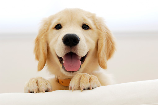 PUP 08 YT0001 01 © Kimball Stock Golden Retriever Puppy Standing Peeking Over White Couch