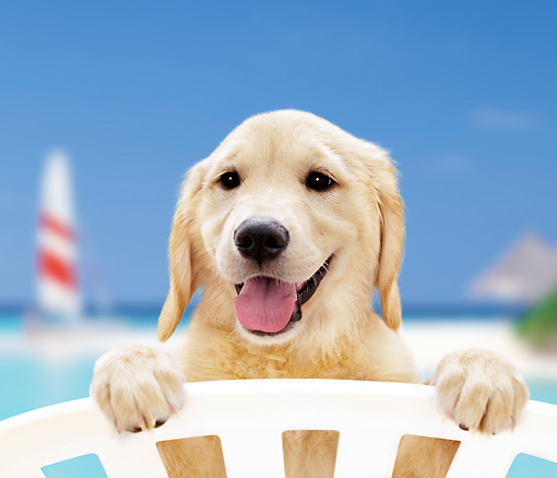 PUP 08 YT0003 01 © Kimball Stock Golden Retriever Puppy Standing Peeking Over White Chair