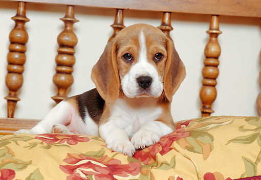 PUP 09 CB0003 01 © Kimball Stock Beagle Puppy Laying On Floral Pillow