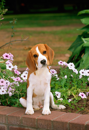 PUP 09 CE0002 01 © Kimball Stock Beagle Puppy Sitting On Brick Wall By Lavender Petunias