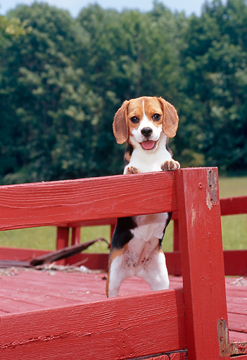 PUP 09 CE0020 01 © Kimball Stock Beagle Puppy Leaning On Red Deck