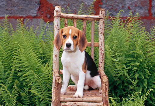 PUP 09 CE0021 01 © Kimball Stock Beagle Puppy Sitting On Wooden Chair By Shrubs