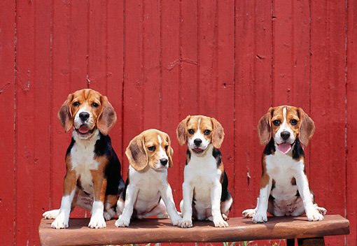PUP 09 CE0022 01 © Kimball Stock Beagle Puppies Sitting On Bench By Red Wall